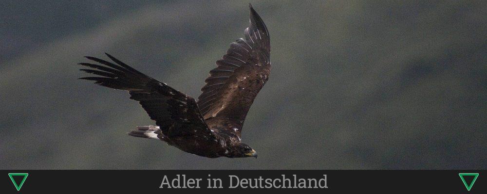 Adler in Deutschland