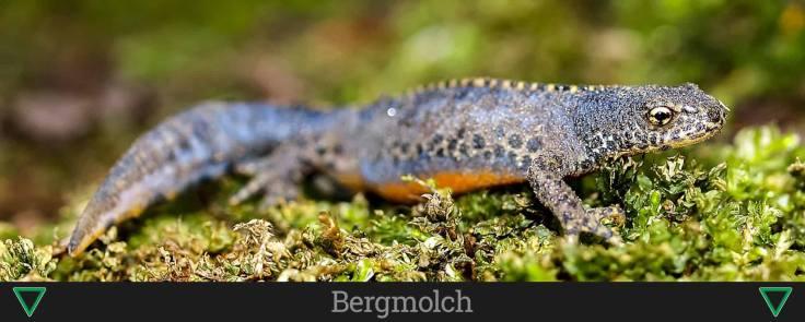 Bergmolch