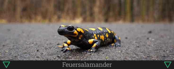 Feuersalamander - naturschutzgebiete.org