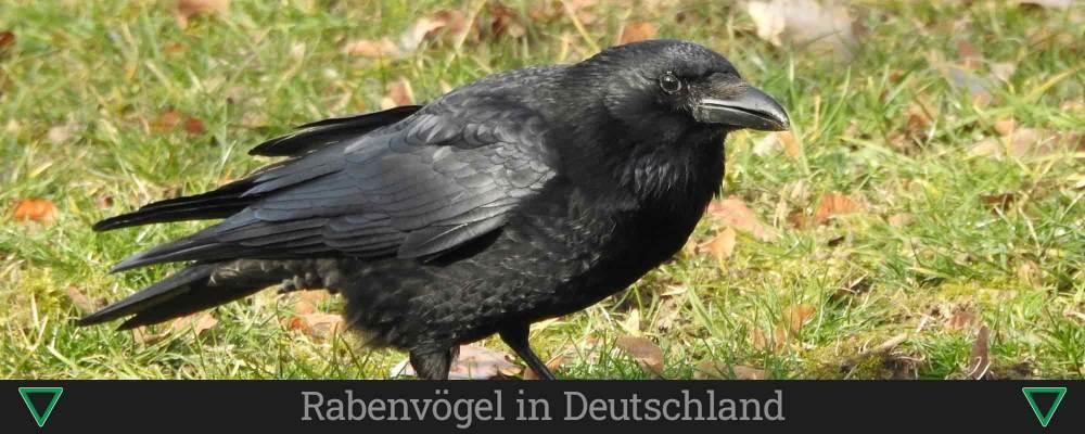 Rabenvögel in Deutschland