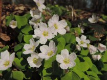 bloemen klaverzuring (10)