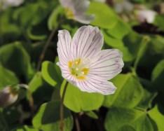 bloemen klaverzuring (2)