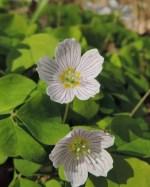 bloemen klaverzuring (3)