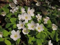 bloemen klaverzuring (9)