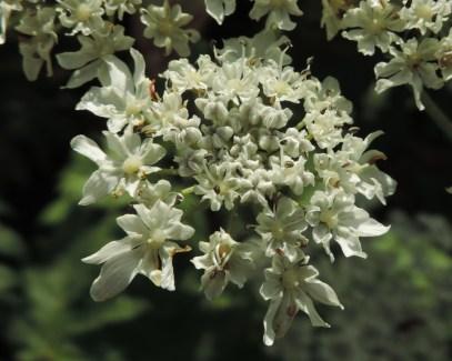 bloemen berenklauw (14)