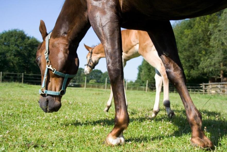 paardenbenen