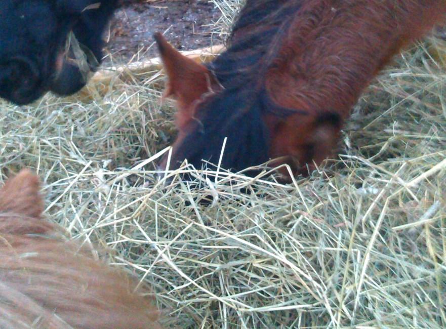 wat eet een paard