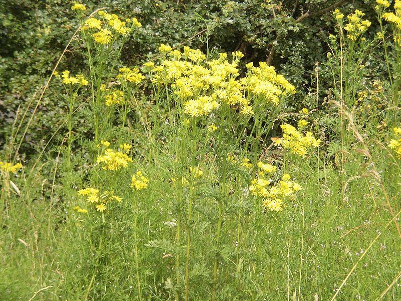 jacobskruiskruid giftige planten
