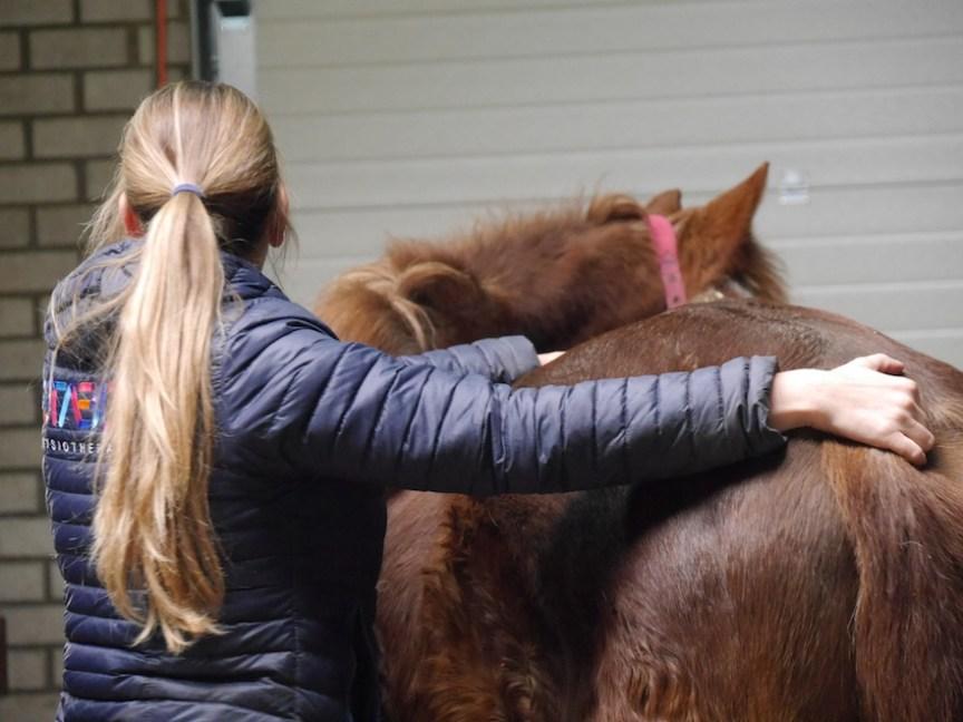 Revalidatiebehandeling paard door Stable Fysio