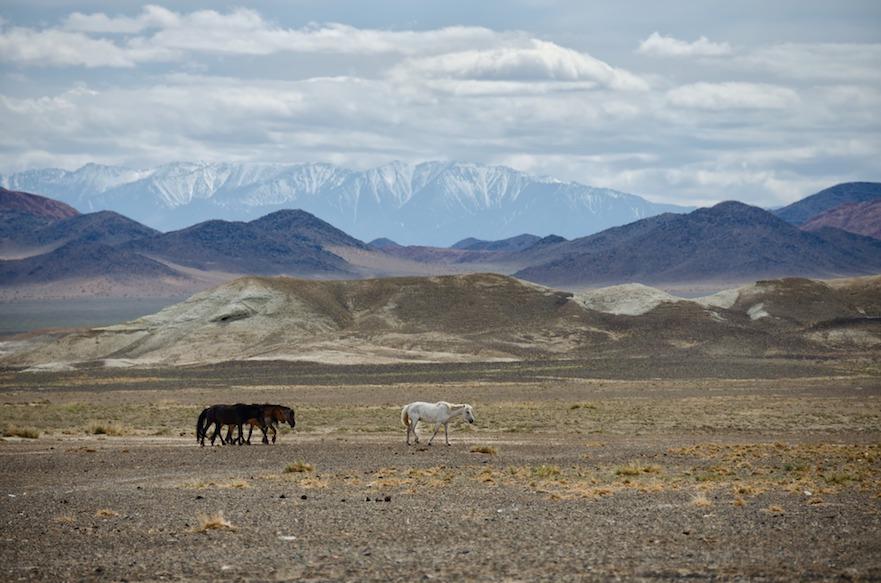 Wilde paarden in mongolie
