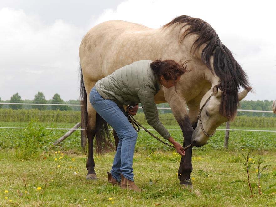 Stretching voor paarden oefening 5 laag naar opzij