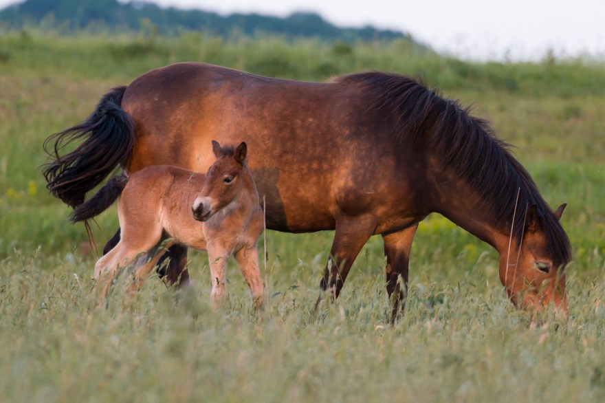 HvZ Fotografie - Natuurlijk Paarden fotoblog Exmoor pony