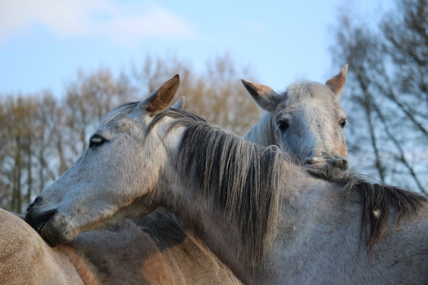 sociale interactie paardenwelzijn