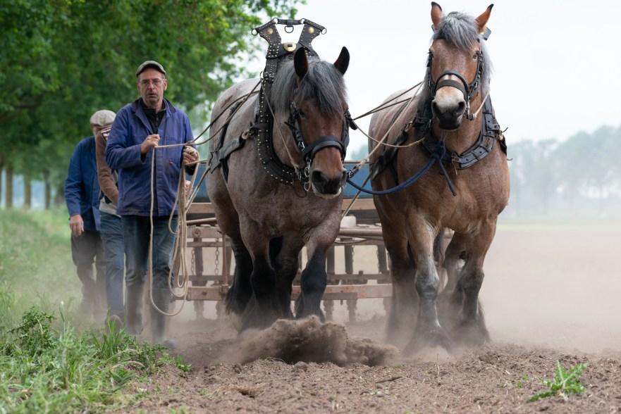 trekpaarden in landbouw begin 1900