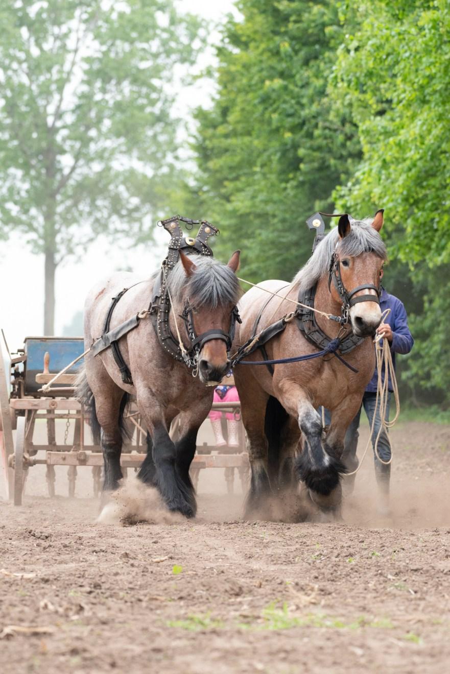 trekpaarden trekken een 20e eeuwse zaaimachine voort