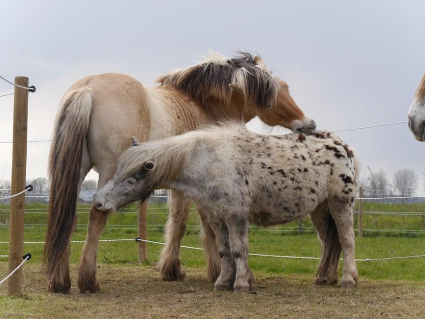 Paarden kroelen vachtverzorging sociaal