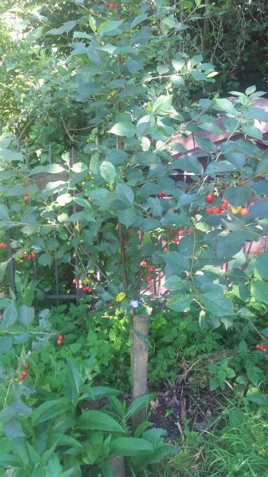 kersenboom in de moestuin
