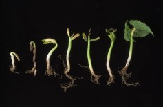 work-websites-nault-research-ipm-major snap bean pests-SEEDLING_SCMINJURY_2003_1