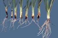 work-websites-nault-research-ipm-onion maggot in onion-ONIONMAGGOT_DAMAGESEQUENCE