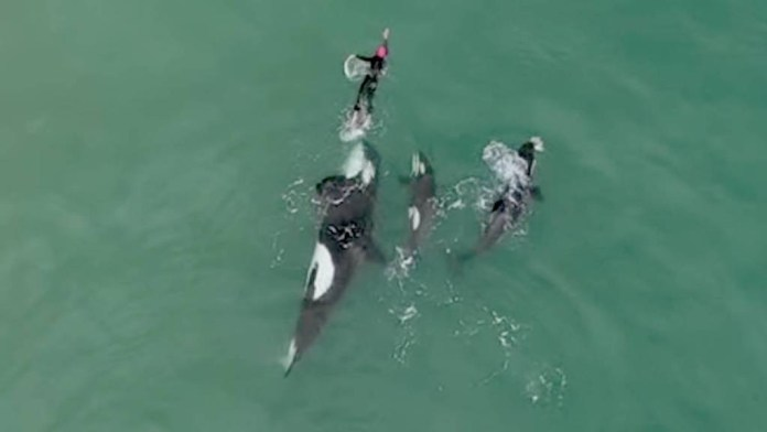 A swimmer chased by a family of killer whales