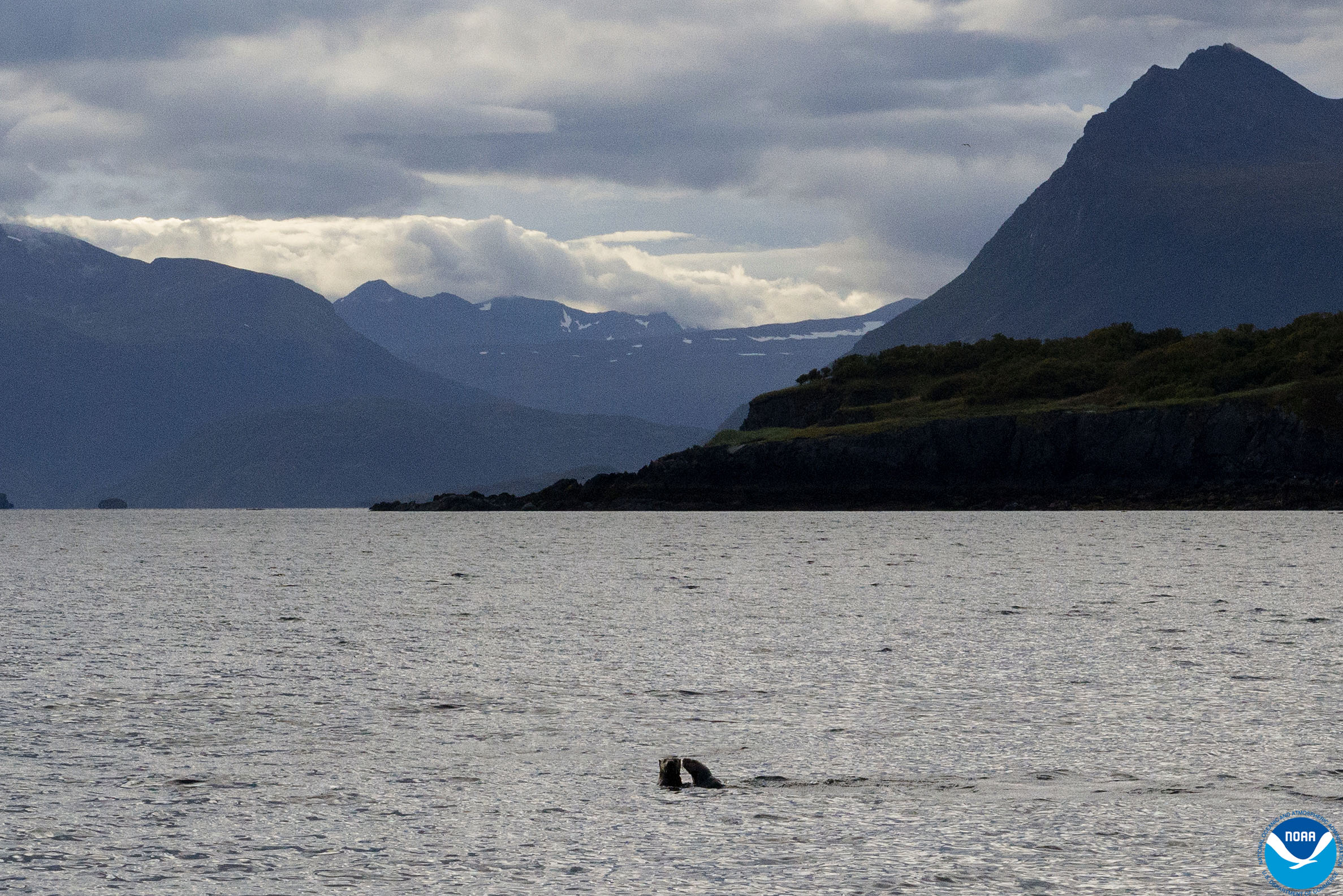 Sea otters at play as the sun rises over Prince of Wales Island, Alaska.