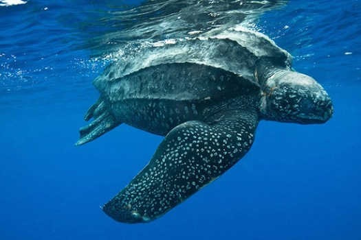 A leatherback sea turtle.