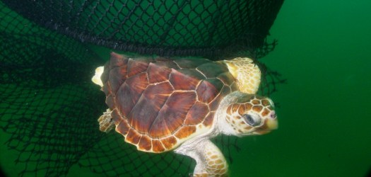 A loggerhead sea turtle escapes from a net equipped with a Turtle Excluder Device.