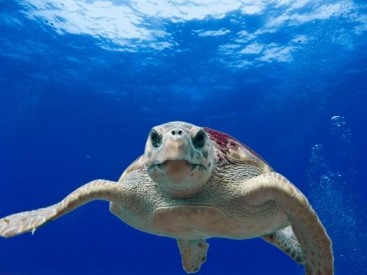 A loggerhead turtle.