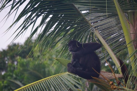 Spider Monkeys at Isla Linton