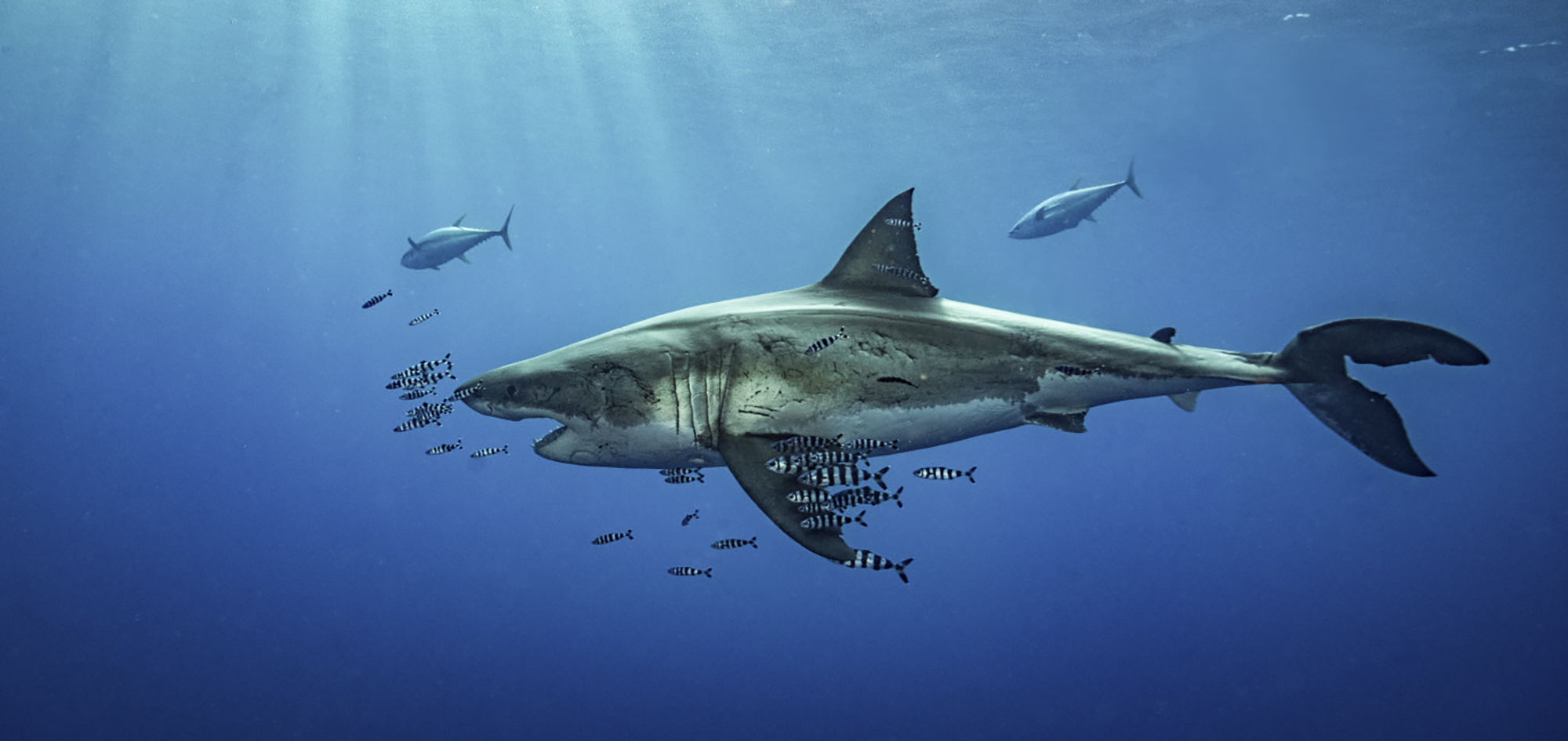The End Of Our Best Guadalupe Island Great White Shark