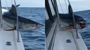 Tiburón se subió al barco de pescadores y luchó para liberarse