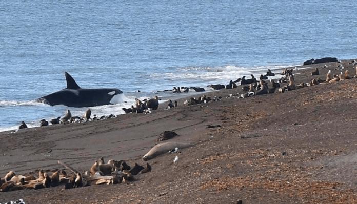 orca ataca lobos marinos