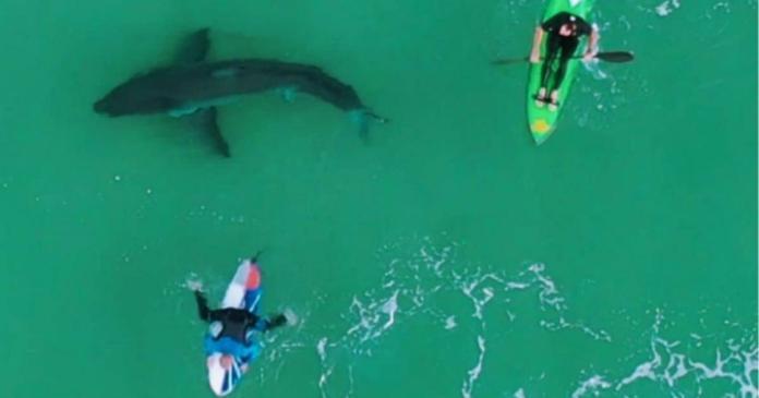 tiburón blanco acecha a surfistas en Sudáfrica