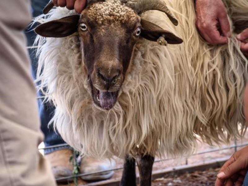 SheepIsLife-2016-42