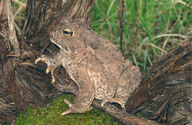 WOODHOUSE-TOAD