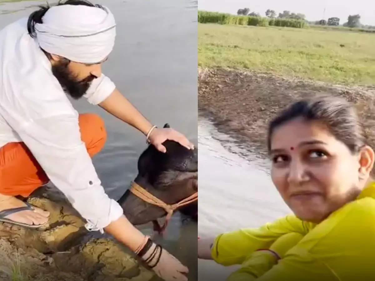 Sapna Chowdhury with her husband buffalo: Sapna Chowdhury shared a funny video of her husband Veer Sahu bathing his buffaloes: