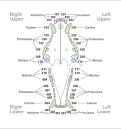 dental diagram pdf [ 985 x 969 Pixel ]