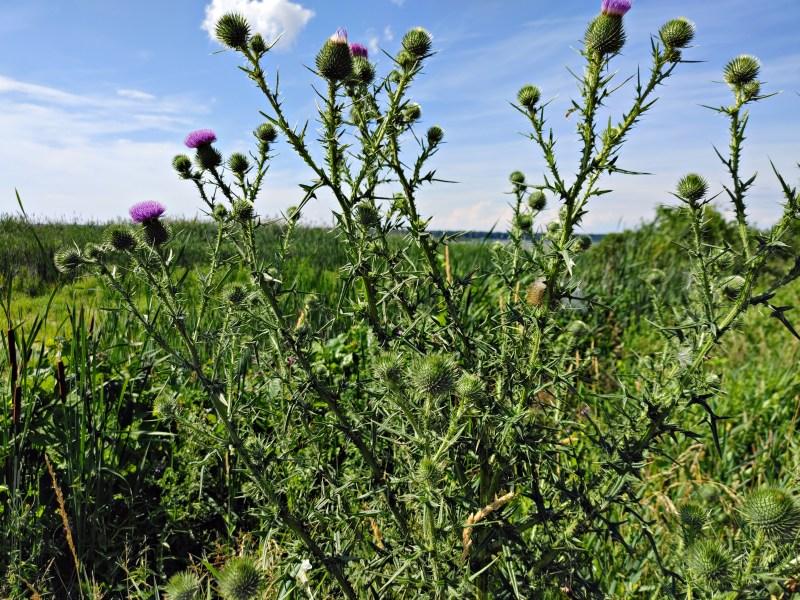 plants, Montezuma wildlife refuge