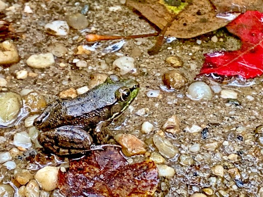 Frog, Welwyn Preserve
