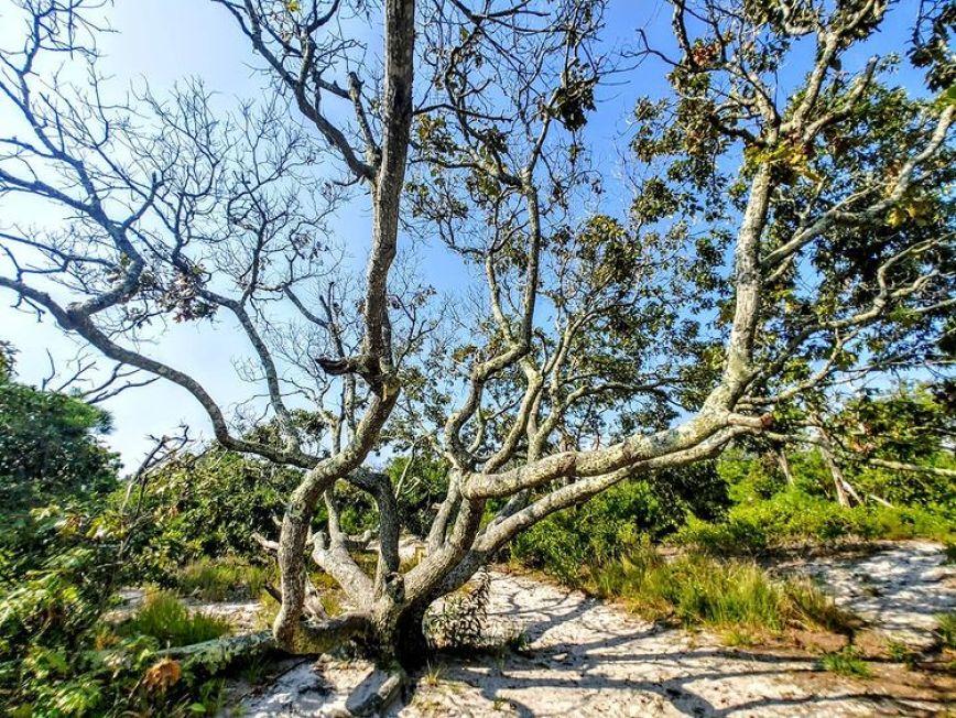 tree on the life of the dunes trail assateague island national seashore