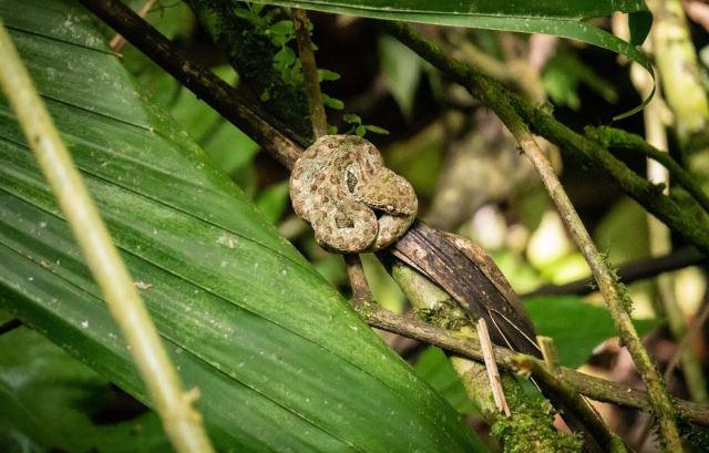 Fer De Lance Pit Viper. Mistico Arenal National Park. Costa Rica.