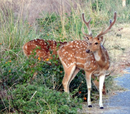 spotted-deer-chital