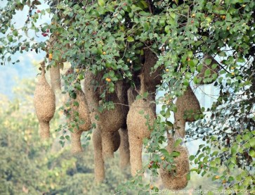 bayas-nests