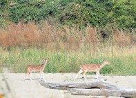 spotted-deers-chital1