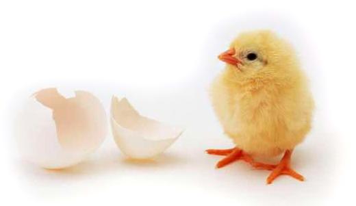 цыпленок из инкубатора