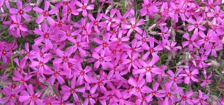 Наиболее популярные цветущие почвопокровные растения