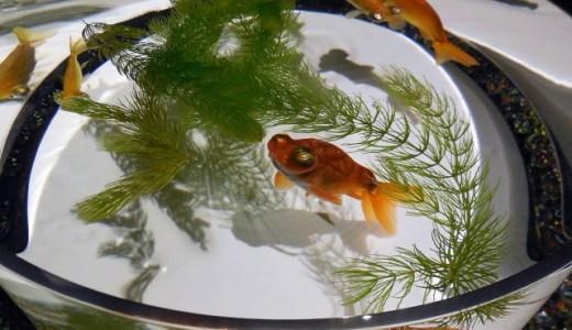 金魚の飼い方!金魚鉢で飼う方法はコレ!