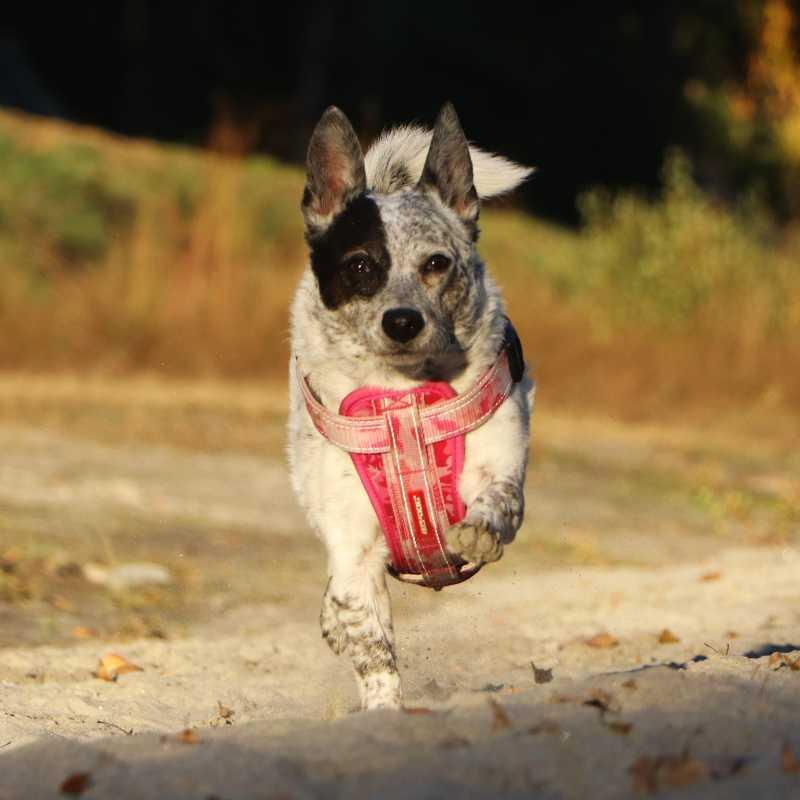 Cattel Dog Hunde beim Fotoshooting Action in Bewegung Fotografie Apportiert Chihauhaumix