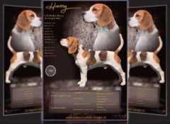 beagle deckrüde breeder flyer für zucht