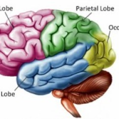 Left Side Brain Functions Diagram 98 Civic Ex Fuse Structure And Function Injury British Columbia Lobes